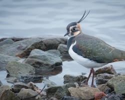 Lapwing At Martin Mere By Clive McDonald