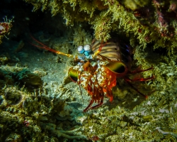 A Peacock Mantis Shrimp By Graham Barker