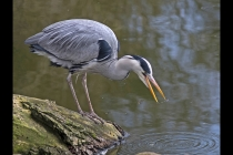 Second Place - Grey Heron Fishing By Brian Clark