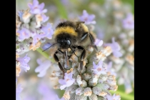 Second Place - Bee On Lavender By Dave Biggs