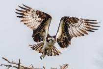 Third Place - Osprey Taking Flight By Bill Breckenridge